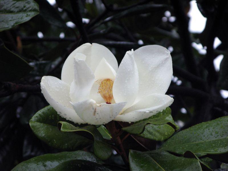 La magnolia grandiflora origen cuidados caracter sticas - Magnolia planta cuidados ...