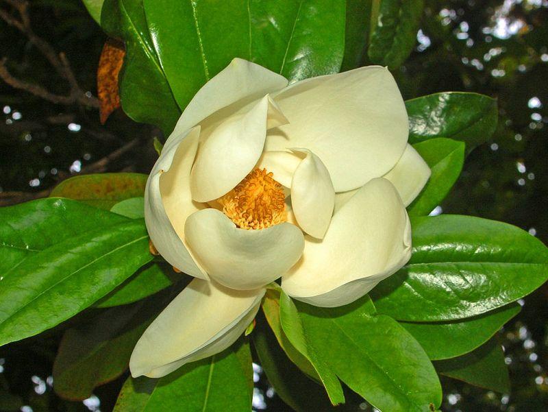 La magnolia grandiflora 3