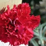 El clavel | Características, cuidados 3