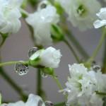 La Paniculata | Características, hábitat, propiedades 2