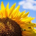 El girasol | Características, hábitat, productos