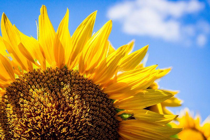 El girasol caracter sticas h bitat productos - Flores que aguantan el sol ...