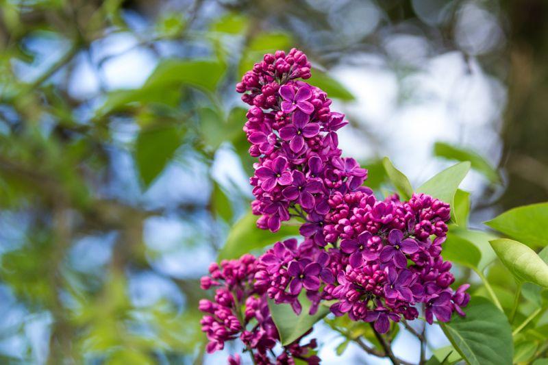 Lila común | Características, origen, propiedades curativas