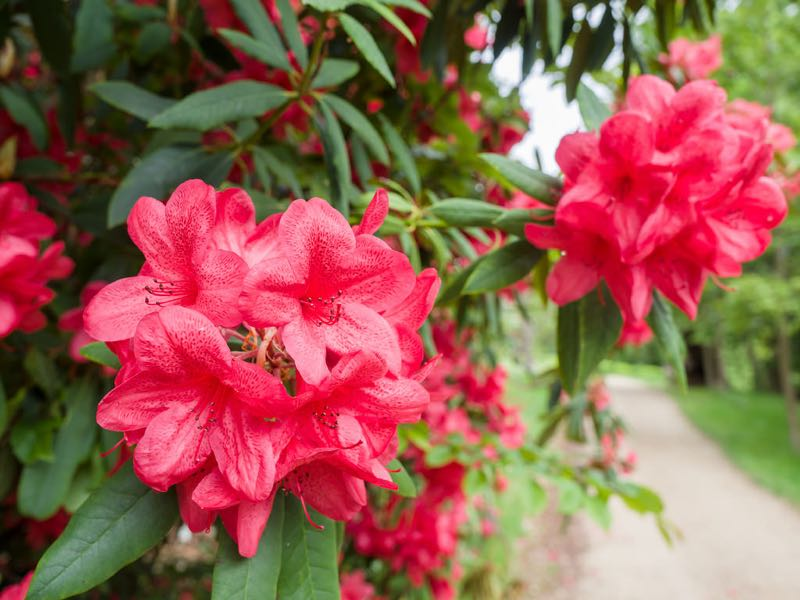 photo credit: Red rhododendron via photopin (license)