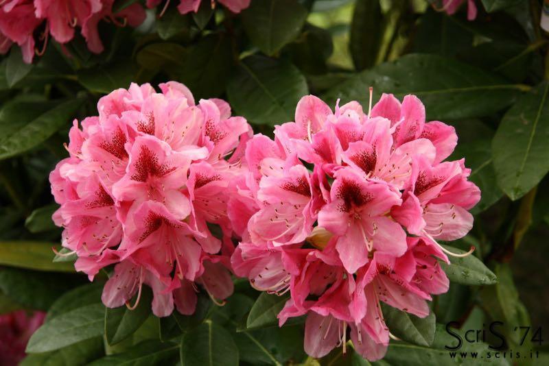 Rododendro caracter sticas cuidados historia - Rododendro arbol ...