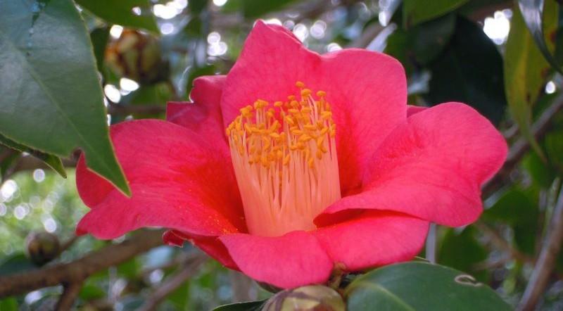 Camellia japonica, caracteristicas, cuidados, usos, aceite