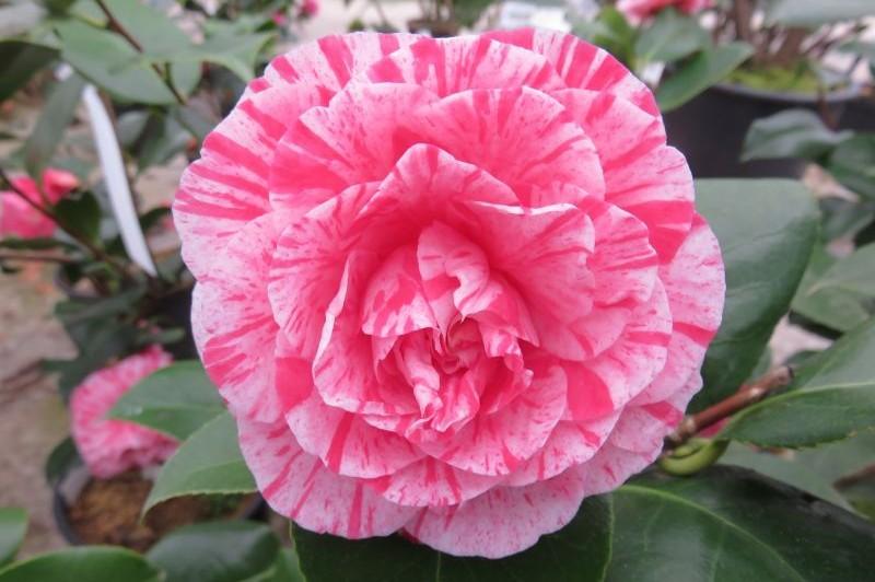 camellia sasanqua, caracteristicas, habitat, usos