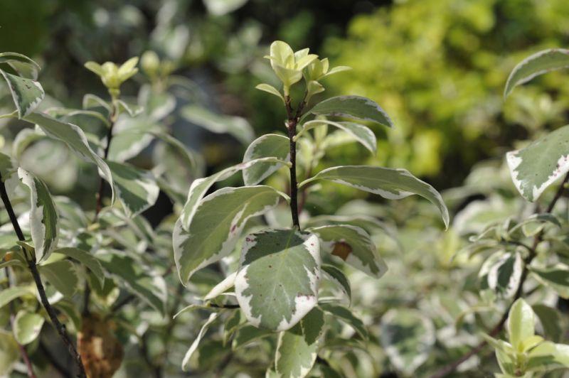 photo credit: Pittosporum tenuifolium 'Marjorie Channon' via photopin (license)