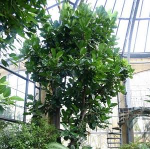 Ficus lyrata caracter sticas cuidados curiosidades for Ficus interior cuidados