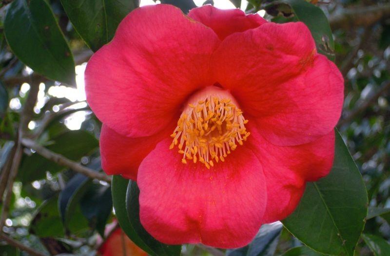 la Camellia japónica
