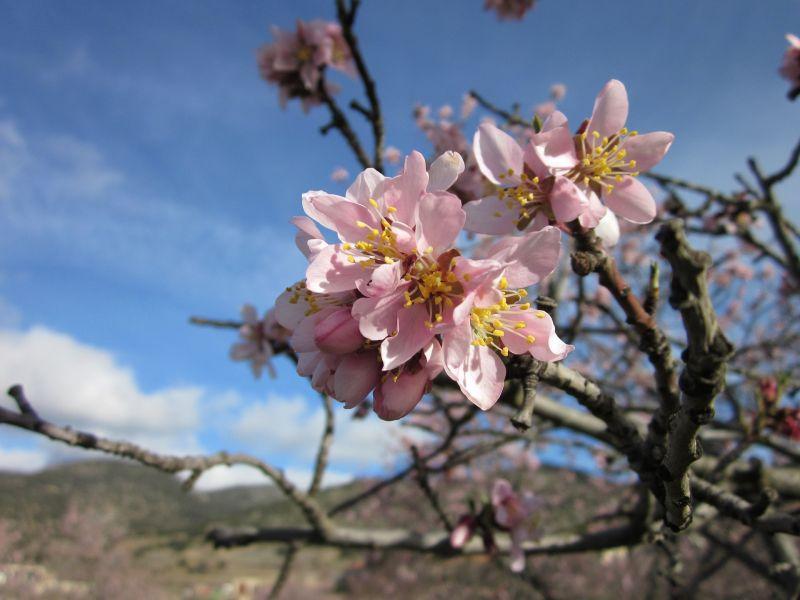 El almendro, características, flor, árbol, cuidados