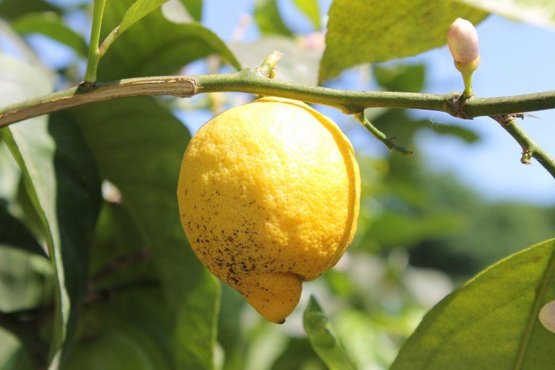 El limonero, características, cuidados, propiedades, hábitat