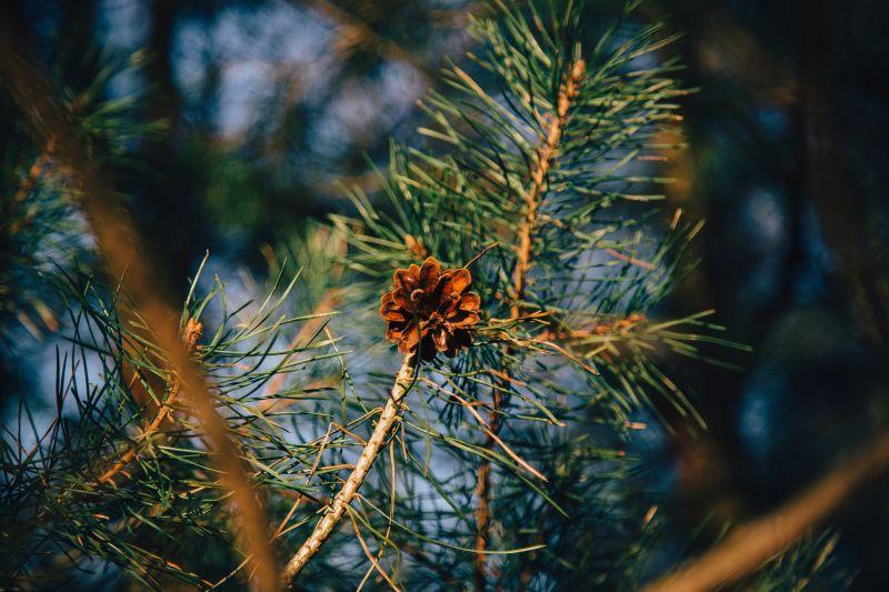 el pino piñonero