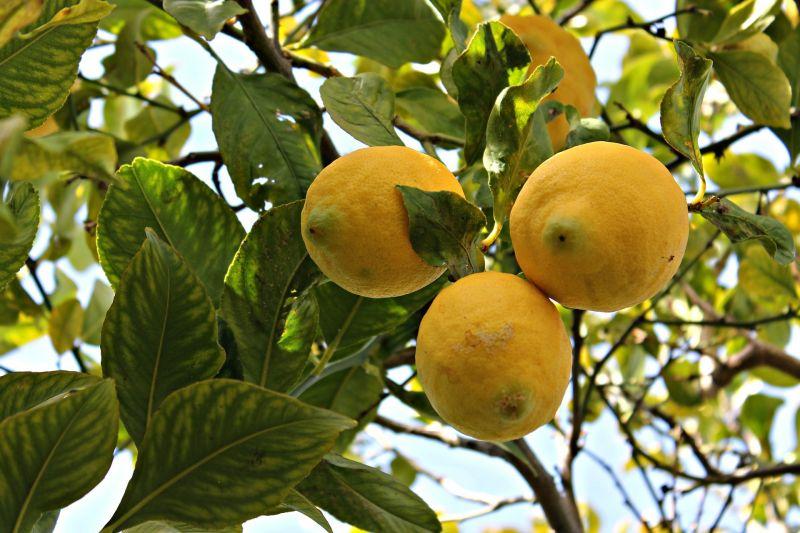 limonero, caracteristicas, cuidados, propiedades, habitat