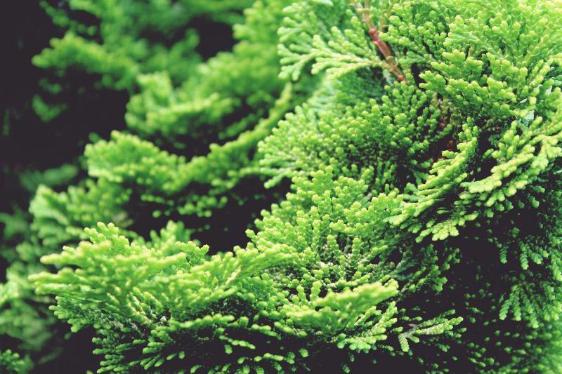 El ciprés | Árbol, características, cuidados, hábitat 2