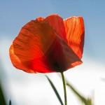 La amapola | características, cuidados, curiosidades, plata, flor