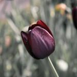 el tulipan, características, cuidados y origen