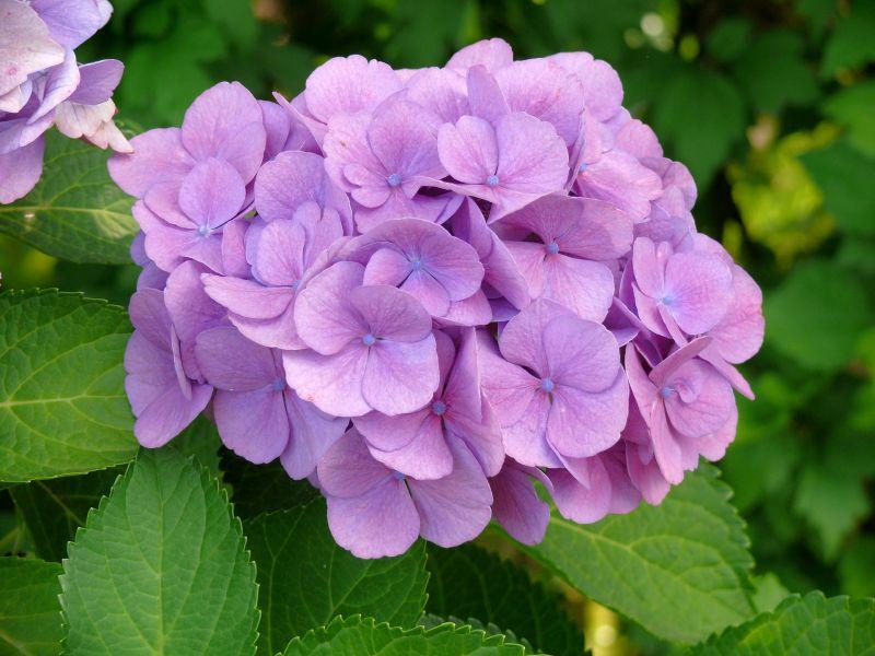 La hortensia poda cuidados caracter sticas planta - Cuidados de las hortensias ...