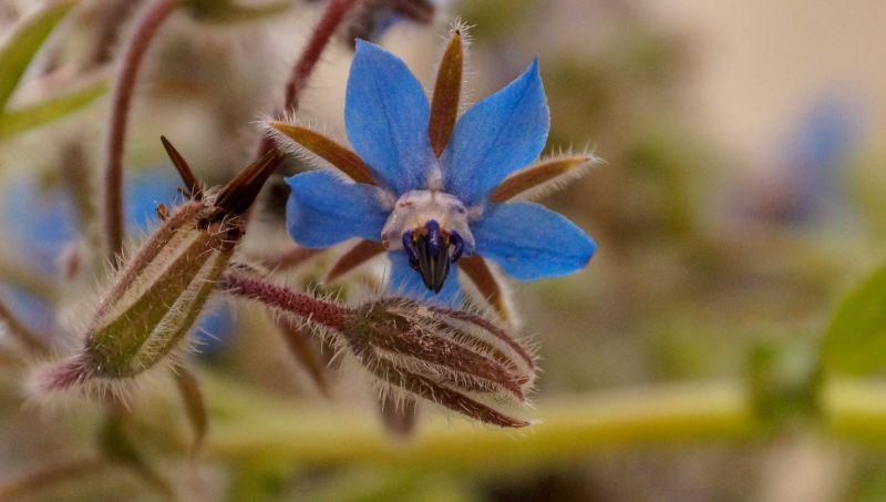 La borraja, planta medicinal