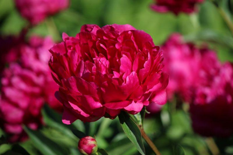 Peonias Características, cultivo, flores