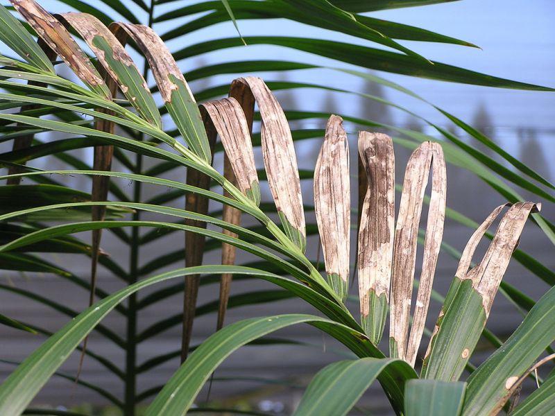 Kentia caracter sticas h bitat cuidados planta - Plantas de interior palmeras ...