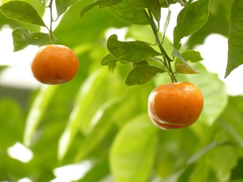 mandarino, características y cuidados