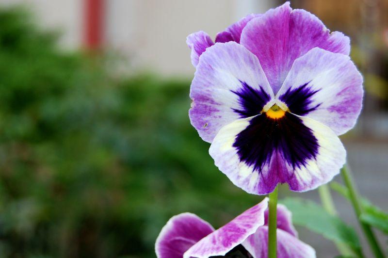 El pensamiento, flor y planta