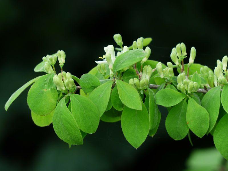 Madreselva caracter sticas cultivo cuidado planta - La madreselva ...