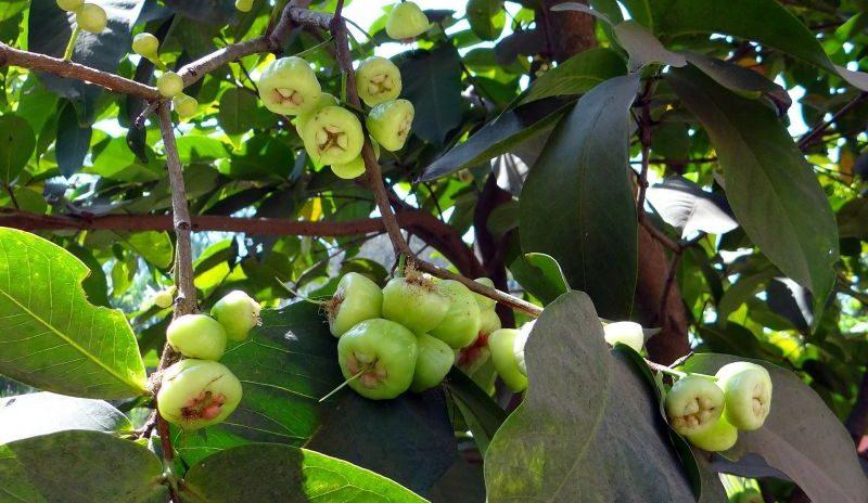 la pomarrosa, propiedades y hábitat
