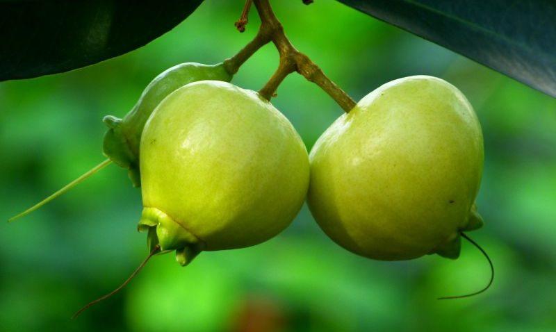 pomarrosa fruta venezolana
