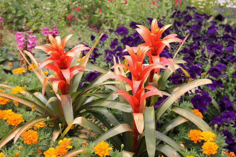 Guzmania, cuidados, características Planta, flor