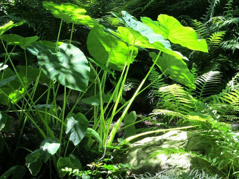alocasia oreja de elefante h bitat cultivo cuidados On planta ornamental oreja de elefante