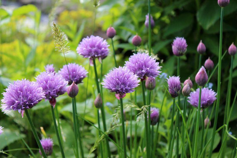 Cebollino, cultivo, siembra, propiedades y beneficios  Planta