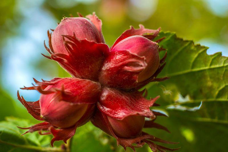 Nogal caracter sticas cultivo usos fruto rbol planta for Cuanto mide un arbol
