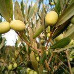 El olivo, características, fruto, cultivo, cuidado Árbol, planta