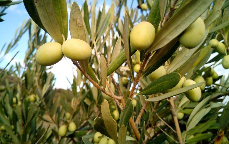 El olivo | Características, fruto, cultivo, cuidado | Árbol, planta