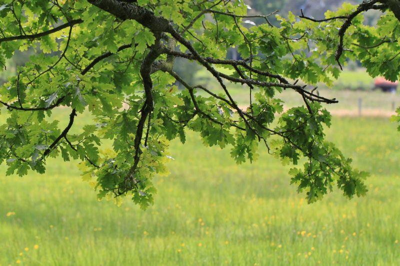 El roble, características, cultivo, usos y aplicaciones, madera Árbol