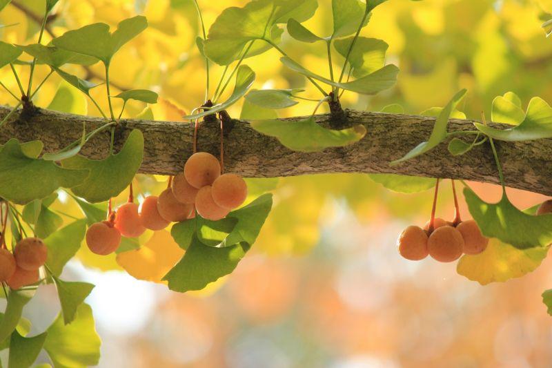 Ginkgo biloba, características, propiedades medicinales, simbología, árbol
