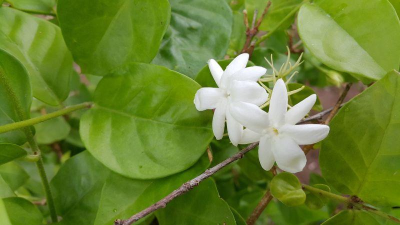 Jazmín, características, cuidados aroma, beneficios Planta, flor