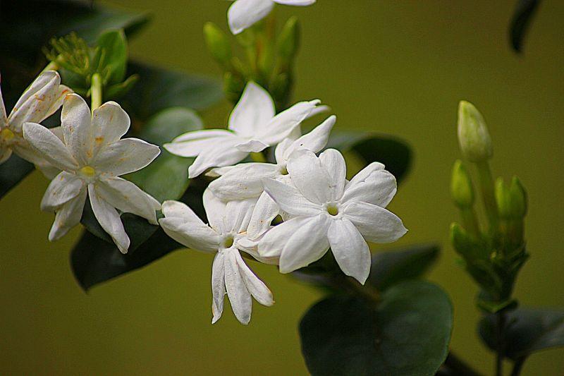 Jazmín | Características, cuidados aroma, beneficios | Planta, flor