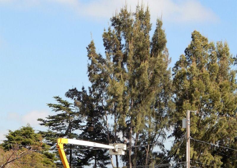 La casuarina, características, cultivo, usos Planta, árbol