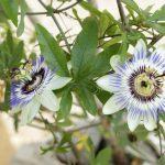 La pasionaria, características, usos, propiedades, cultivo Flor, planta