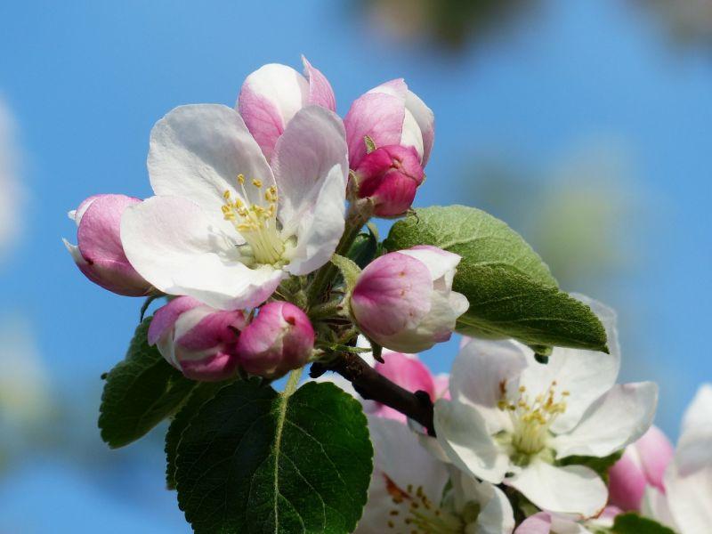 Manzano, características, historia, cuidados, cultivo, fruto Árbol