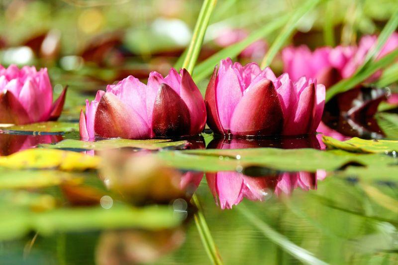 Nenúfar, características, cuidados, cultivo Planta, flor