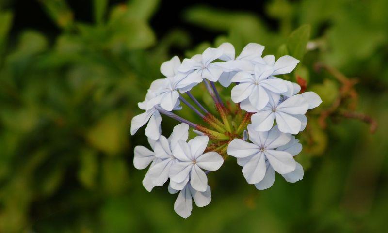 Plumbago Características, cuidados, cultivo Auriculata Planta