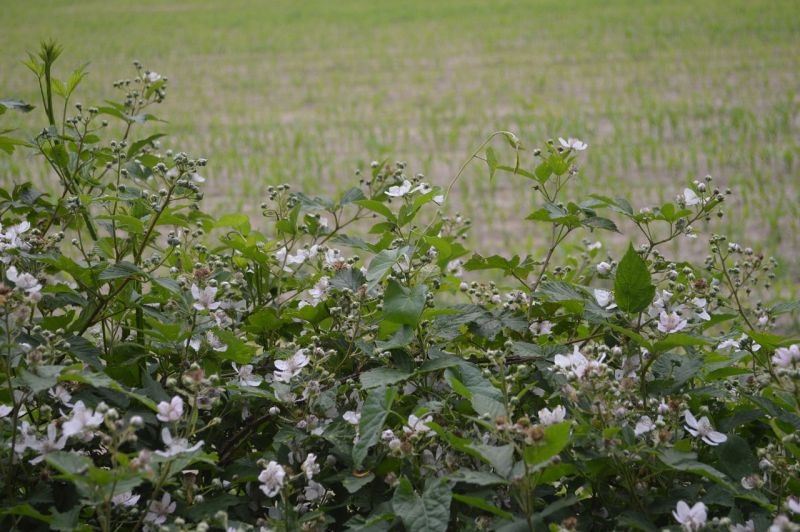 Zarzamora, características, cultivo, beneficios, variedades, origen Planta