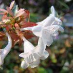 Abelia Grandiflora, características, cultivo, cuidados Planta, arbusto