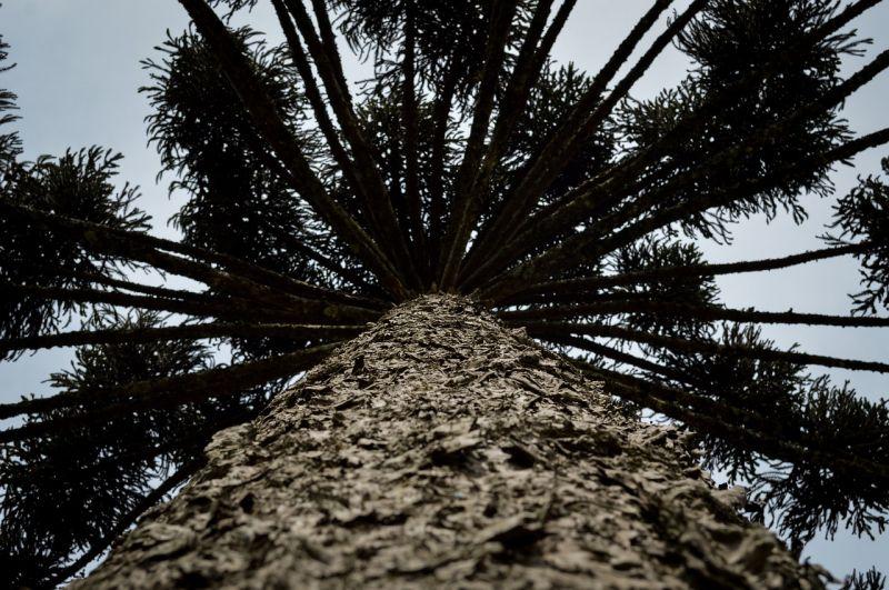 Araucaria, características, reproducción, usos Árbol, planta