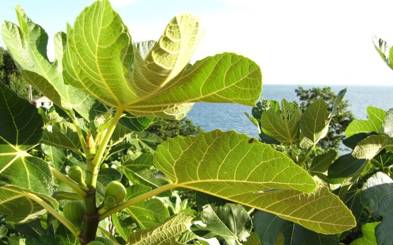 Ficus carica (higuera)