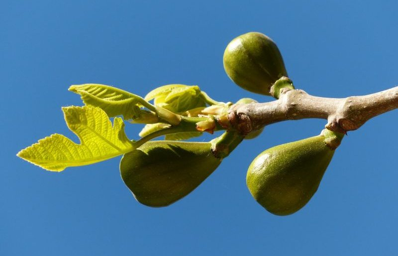 Ficus carica (higuera), hojas, cultivo, fruto, higos, brevas Planta